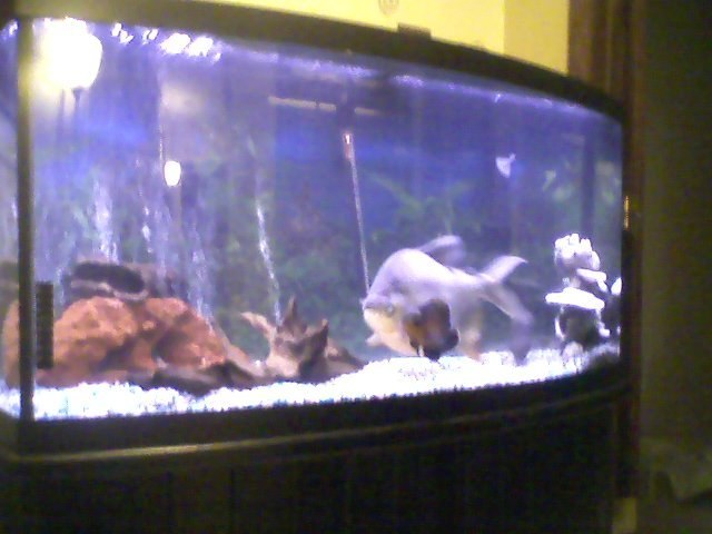 Rip my pacu s 10 forum for Pacu fish for sale
